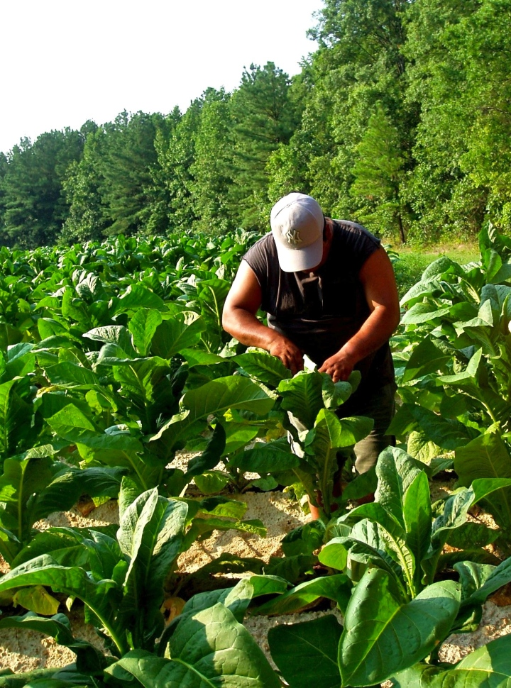 Laborer in Tobacco Field