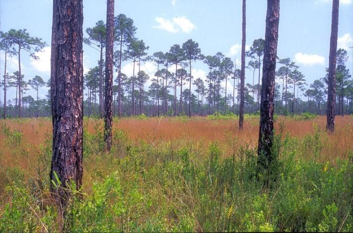 Longleaf pine Savannah, Mississippi Sadhill Crane NWR, USA (Lea)